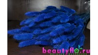 Лагурус синий