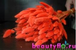 Лагурус оранжевый